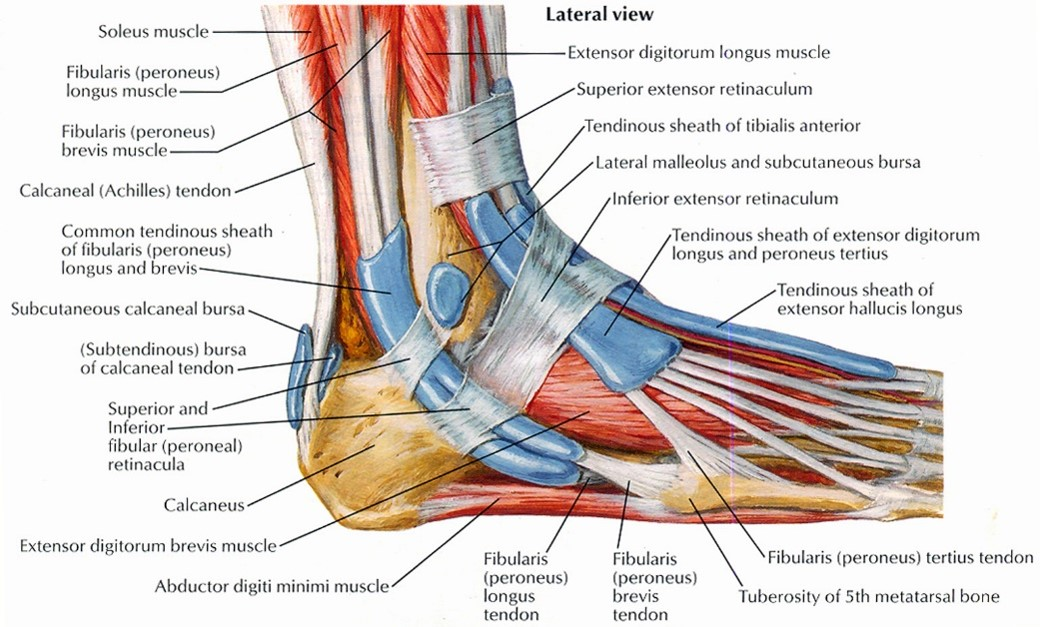 Tendon Or Ligament Injury David Brown Podiatry Wigan